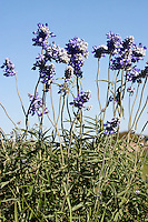 Blue Mealy Sage, (Salvia farinacea), Kimble County, Texas
