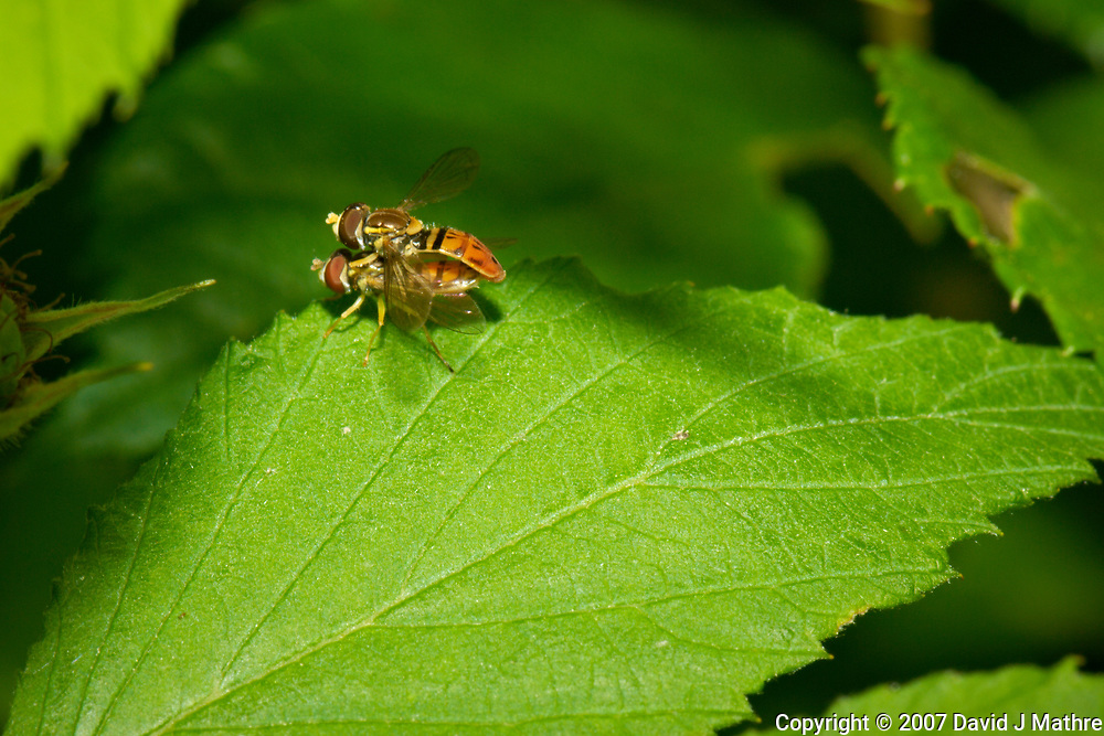 Pair of hover flies mating. Backyard spring nature in New Jersey. Image taken with a Nikon D2xs camera and 105 mm f/2.8 VR macro lens (ISO 100, 105 mm, f/22, 1/60 sec).