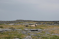 Cows in rocky field on Inis Oirr the Aran Islands Galway Ireland