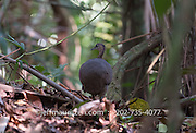 A Great tinamou walks through the tropical rainforest on Barro Colarado Island located in Gatun Lake along the Panama Canal.