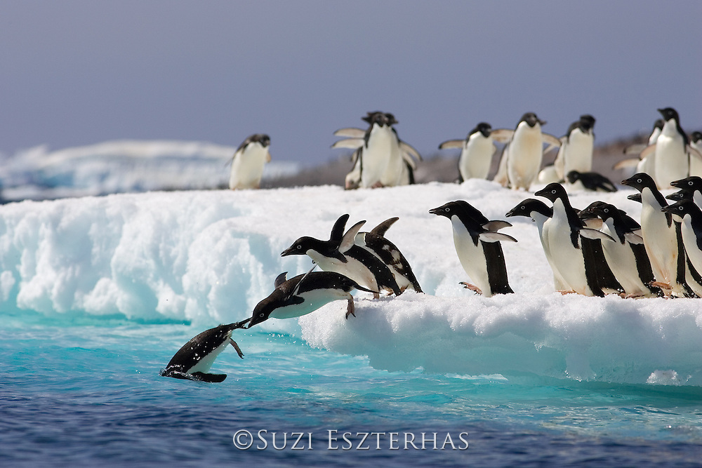 Adelie Penguin<br /> Pygoscelis adeliae<br /> Jumping off iceberg<br /> Paulet Island, Antarctica