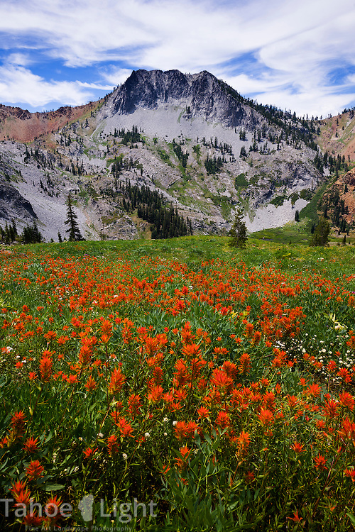Giant field of red Indian Paintbrush below Siligo Peak in the Trinity Alps wilderness Four Lakes loop backpacking trail in California.