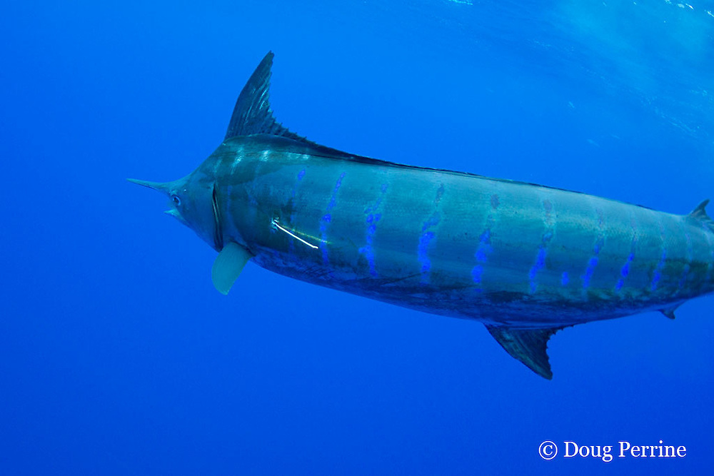 blue marlin, Makaira nigricans, swimming away after being tagged and released, Vava'u, Kingdom of Tonga, South Pacific