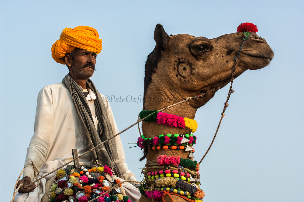 One-humped Arabian or Dromedary camel (Camelus dromedaries) with Rajasthani pastoralist at Pushkar camel and livestock fair.  Pushkar, Rajasthan. INDIA<br /> The camels arrive imaginatively sheared and tatooed to participate in the festivities. Since camels are not easy to distinguish - some traditional tattoos called Kheeng have been evolved. These help herders identify their camels with ease. Black henna or ink is normaly used but permanent marks are also made with the handles of large ladles heated on fire. These marks combined with Moondra-the decorative motives cut out of the hair give each camel its unique look. Added to these are personalized or regional fashions for the saddlery and trapping of his herd which remain the choice of each camel owner.  These long elaborate necks give plenty of space for necklaces and bells. The noses are often adorned with nose rings and the legs with bells.<br /> This fair takes place in the Hindu month of Kartik (October / November) ten days after Diwali (Festival of Lights). Pushkar has always been the the region's main market for herdsman and farmers buying and selling camels, horses, indigenous breeds of cattle and even elephants. Over the years this annual trading event has increased in volume to become one of the largest in Asia. Temporary tents and campsites suddenly appear to accomodate the thousands of pilgrims, villagers and tourists. Entertainers and contests abound and a festive funfair atmosphere prevails over Pushkar during the Mela's 2 week duration. Thousands of men come first with their camels, horses and cattle and camp on the dunes to transact business. 3 days before the full moon the women arrive beautifully attired. The 12 day fair culminates in a religious Hindu pilgrimage and reaches a crescendo on the night of the full moon (Purnima) when pilgrims take a dip in the holy lake of Pushkar.