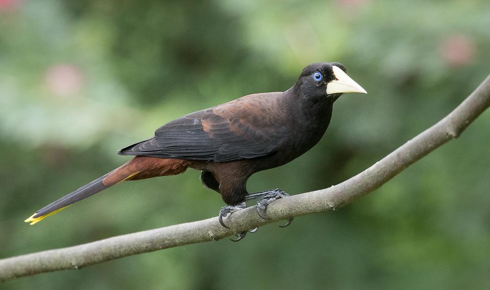 Psarocolius decumanus, Trinidad