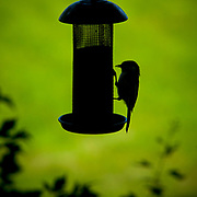 A bird feeds from a bird feeder.