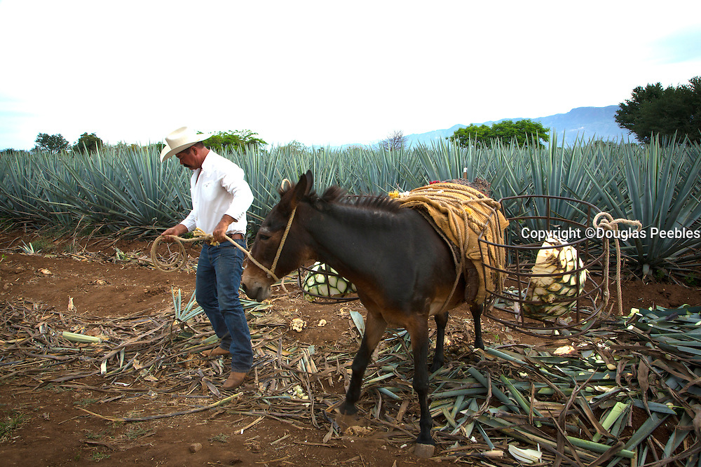 Blue agave, Harvest, Tequila, Jalisco, Mexico