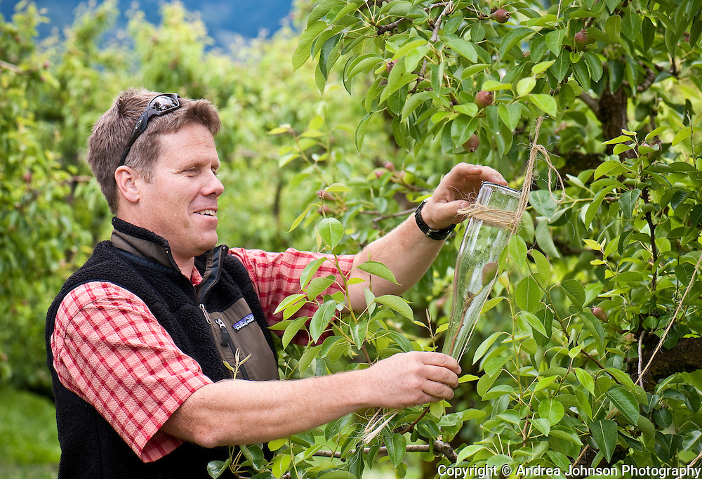 Craig McCurdy checks growth of pear in the bottle for Clear Creek Distillery brandy at Hood River orchard