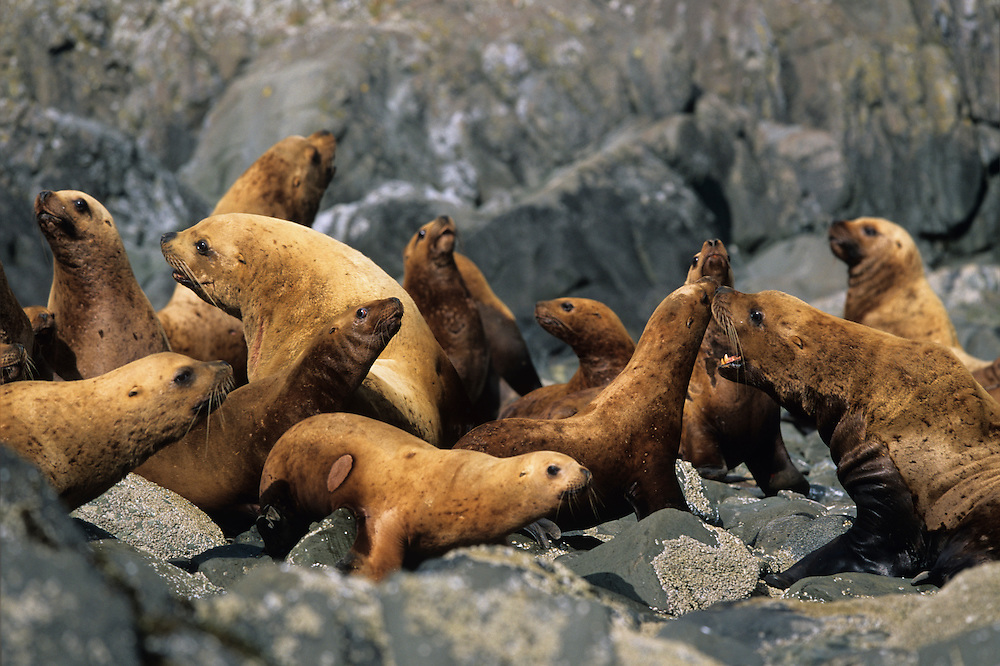USA, Alaska, Tongass National Forest, Steller's Sea Lions (Eumetopias jubatus) gathered at haulout on Sail Island