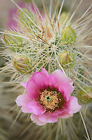 Flowers on Engelmann's Hedgehog Cactus (Echinocereus engelmannii), Organ Pipe Cactus National Monument Arizona