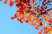 Orange and red fall leaves against a bright blue sky in Acadia National Park, Maine.