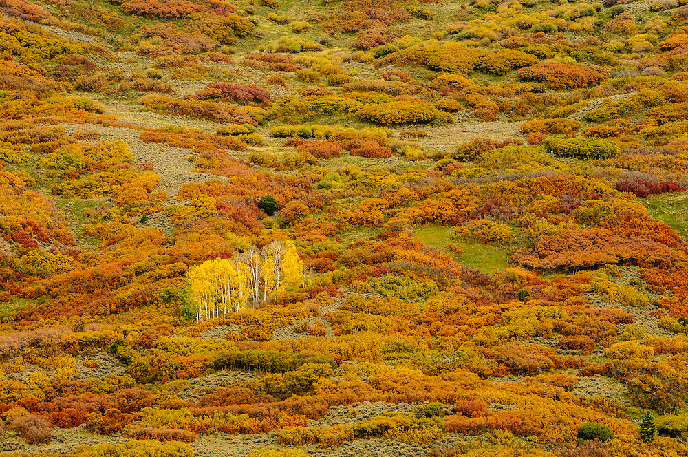 Aspen & Gambels Oak in fall color; Cimarron River valley; Owl Creek Pass, Colorado