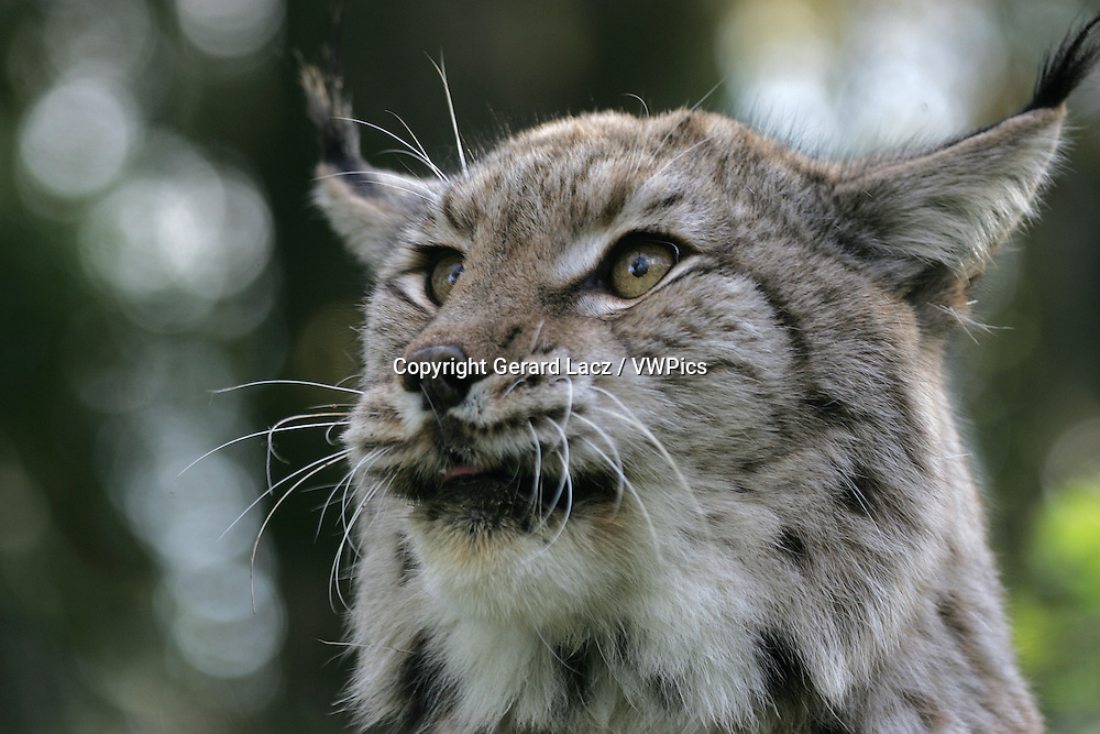 EUROPEAN LYNX felis lynx, PORTRAIT OF ADULT