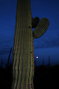 Ironwood Forest National Monument is northwest of Tucson, Arizona, in the Sonoran Desert, USA.