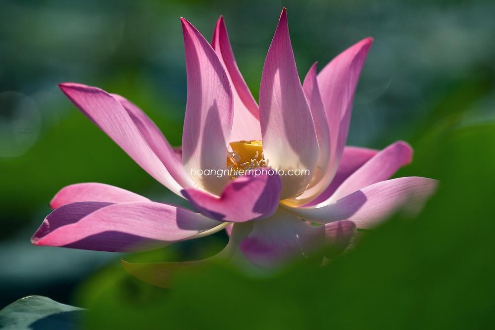 Vietnam Images-flower-lotus-nature -Hoàng thế Nhiệm