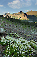 Wildflowers below Reynolds Mountain, Glacier National Park Montana USA