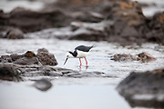 Pied Stilt foraging at low tide, Curio Bay, Catlins, New Zealand