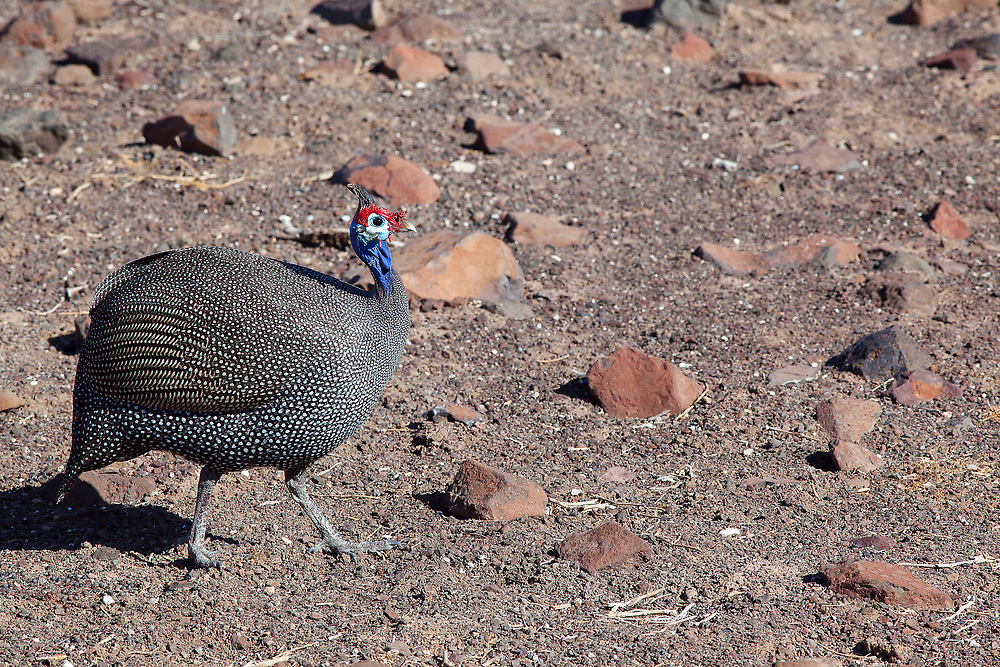 Large well-known gamebird with blue-gray plumage. Common reisdent in grassland, woodland, savanna and fields. May flock in hundreds.