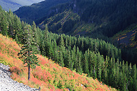 Autumn color paints the vine maple blanketing the Stevens Canyon mountainside in Mount Rainier National Park, WA, USA.  An Englemann Spruce stands alone on a scree slope blanketed by Vine Maple with a Noble Fir forest covering the majority of the canyon.