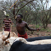 A Pokot man spears a bull during an initiation ceremony to become recognised as an adult within his community, about 80 Kilometres from the town of Marigat, in Baringo County, Kenya, January 20, 2016.