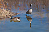 Canada Geese (Branta canadensis) The most widespread and commonly seen goose in North America.  Colorado