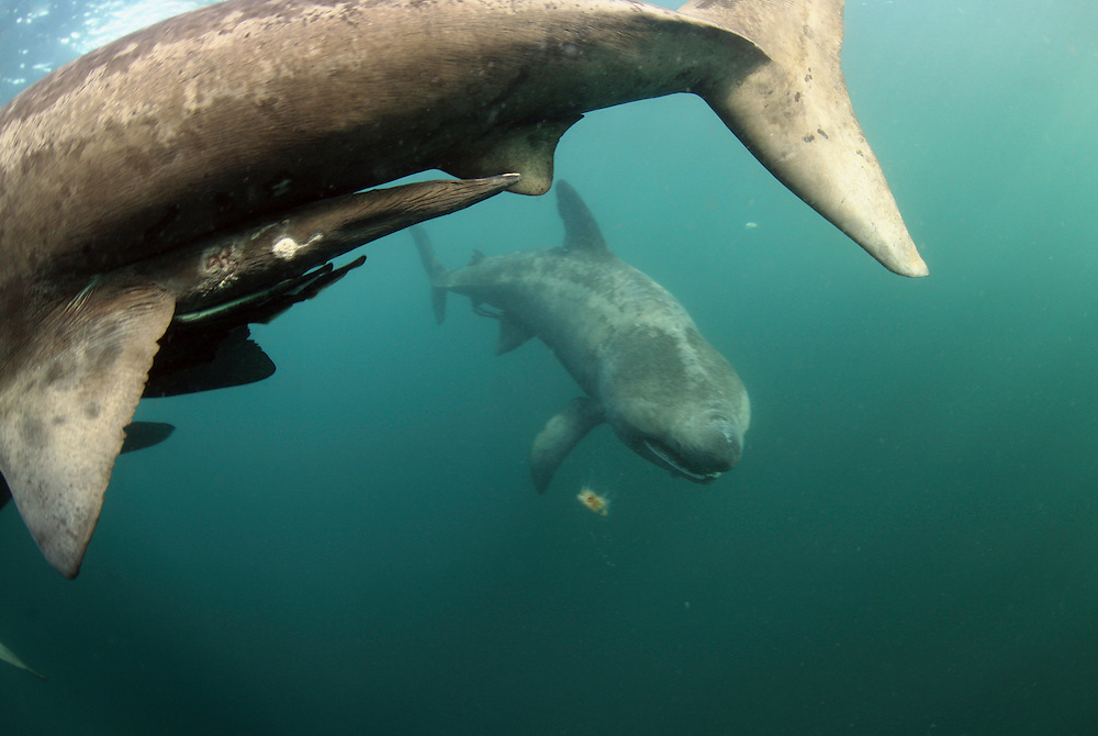 Basking Shark (Cetorhinus maximus); in the area of the Island of Mull; Scotland. June <br /> 2009.<br /> Mission: Basking Sharks<br /> Location: Scotland, off the Island of Mull (Coll and Tiree Islands area)