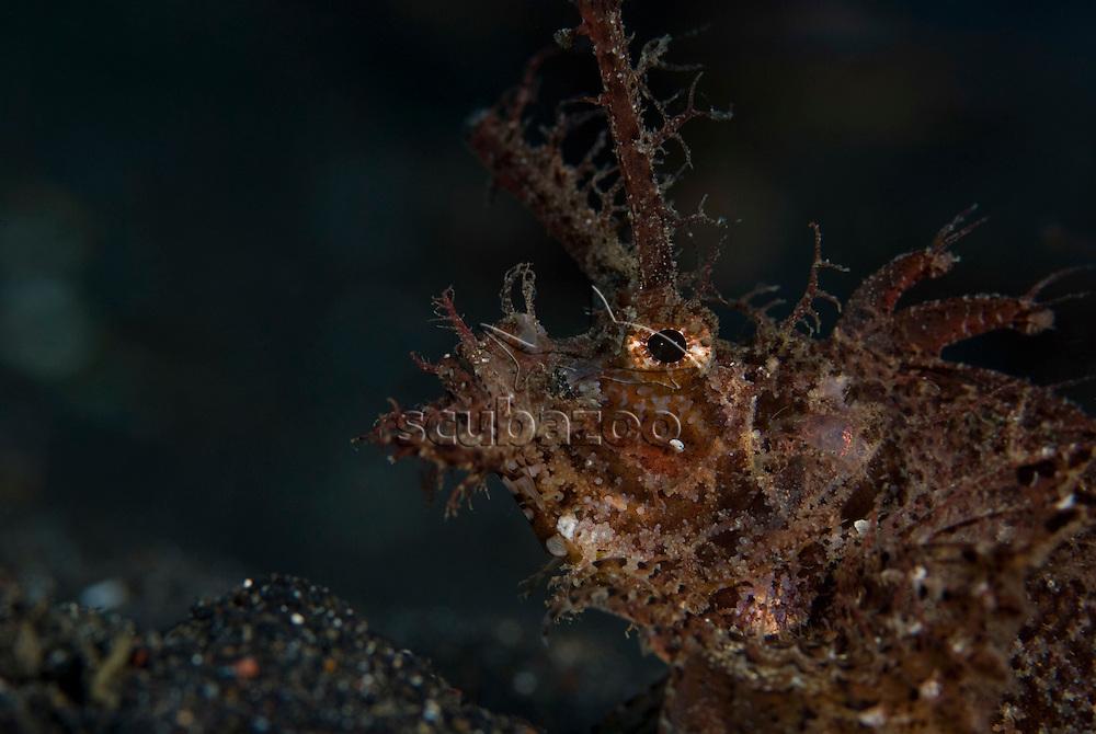 Portrait of Ambon Scorpionfish, Pteroidichthys amboinensis, KBR, Lembeh Strait, Sulawesi, Indonesia.
