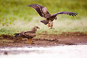 a couple of Black Kite (Milvus migrans) photographed in Israel, in September