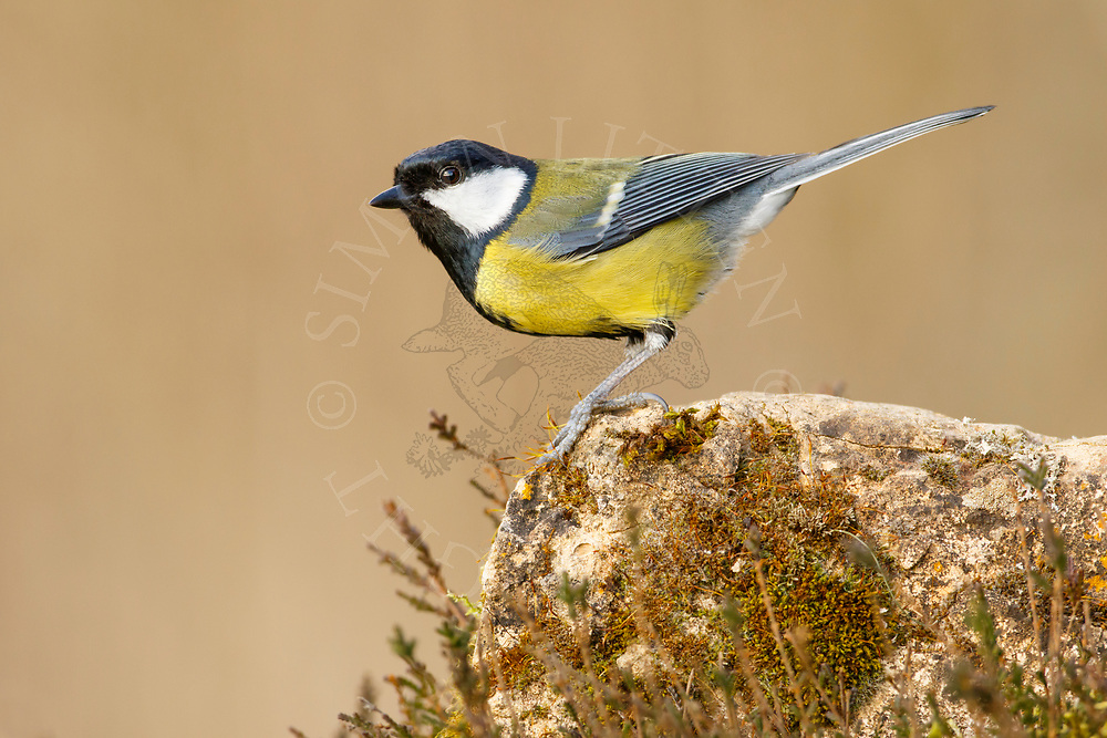 Great Tit (Parus major) adult, perched on weathered stone, South Norfolk, UK. March.