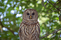 An adult barred owl watches from the hardwoods at the northern end of the Fakahatchee Strand early in the morning in Southwest Florida near Golden Gate.