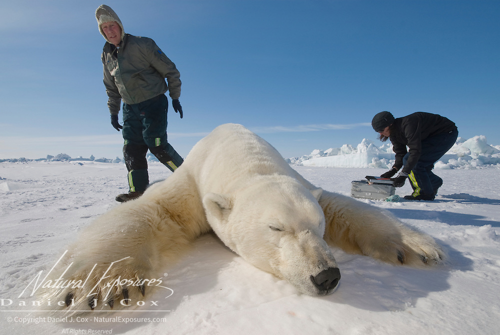 Steve Amstrup, lead USGS biologist, and assistant Karyn Rode, taking field data from an immobilized large male polar bear (Ursus maritmus). Kaktovik, Alaska