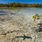 Lemon shark pup among mangroves in South Eleuthera