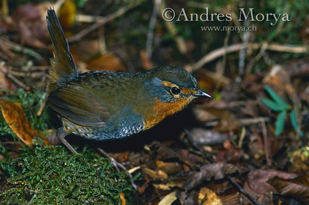 Chucao tapaculo (Scelorchilus rubecula), Southern Chile Image by Andres Morya