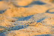 Ghost crab on a Outer Banks beach in NC.