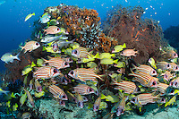Squirrelfishes and Snappers congregate under Sea Fans<br /> <br /> Shot in Indonesia