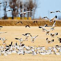 snow geese landing and taking off, feeding in grain field, wheat field,