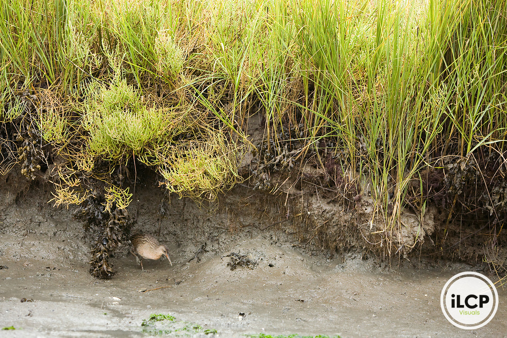 California Clapper Rail (Rallus longirostris obsoletus) foraging in tidal marsh at low tide, Martin Luther King Jr. Regional Shoreline, Oakland, Bay Area, California
