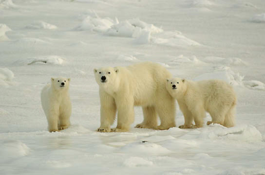 Polar Bear (Ursus maritimus) A mother and her two cubs at Cape Churchill, Manitoba. November. Canada. Winter.
