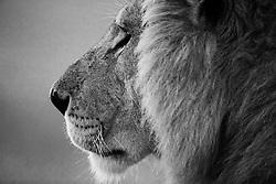 A black and white profile of a male African lion (Panthera Leo)in the Masai Mara, Masai Mara, Kenya,Africa