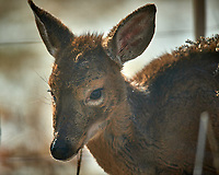 Young, sickly looking deer on my patio. Image taken with a Nikon D5 camera and 600 mm f/4 VR lens (ISO 160, 600 mm, f/4, 1/1250 sec).