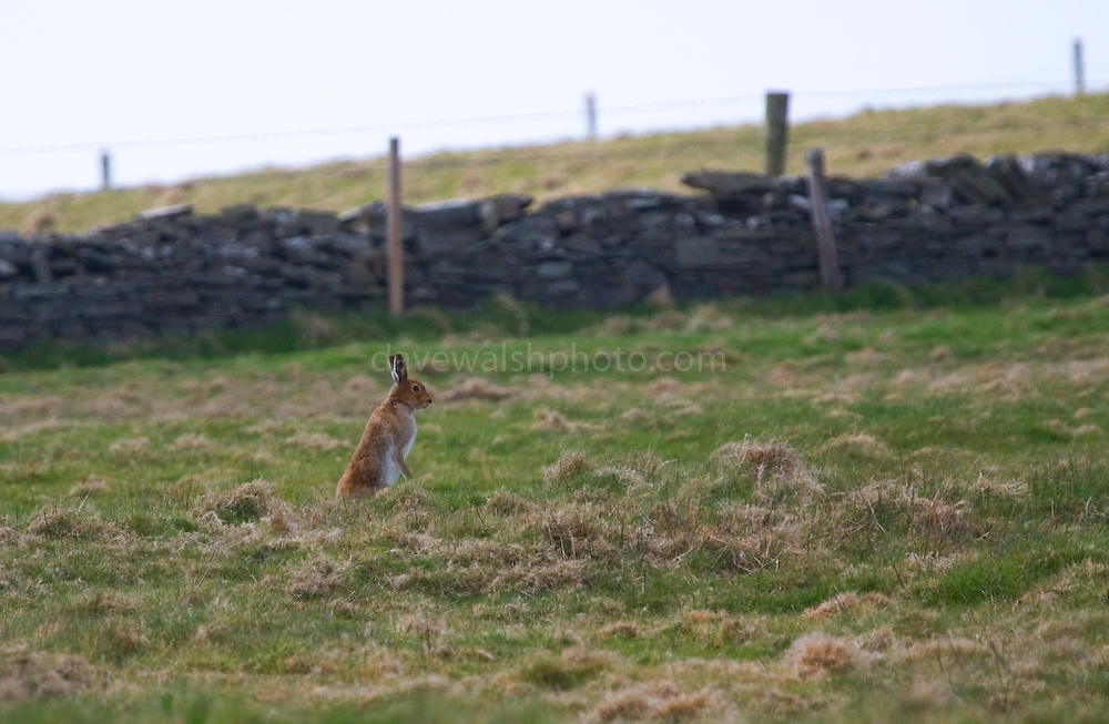 Irish Mountain Hare, Lepus Timidis Hibernicus. The Mountain Hare is largely adapted to polar and mountainous habitats. It is distributed from Fennoscandia to eastern Siberia; in addition there are isolated populations in the Alps, Ireland, Poland, United Kingdom and Hokkaido. some scientists believe that the Irish Hare should be regarded as a separate species.
