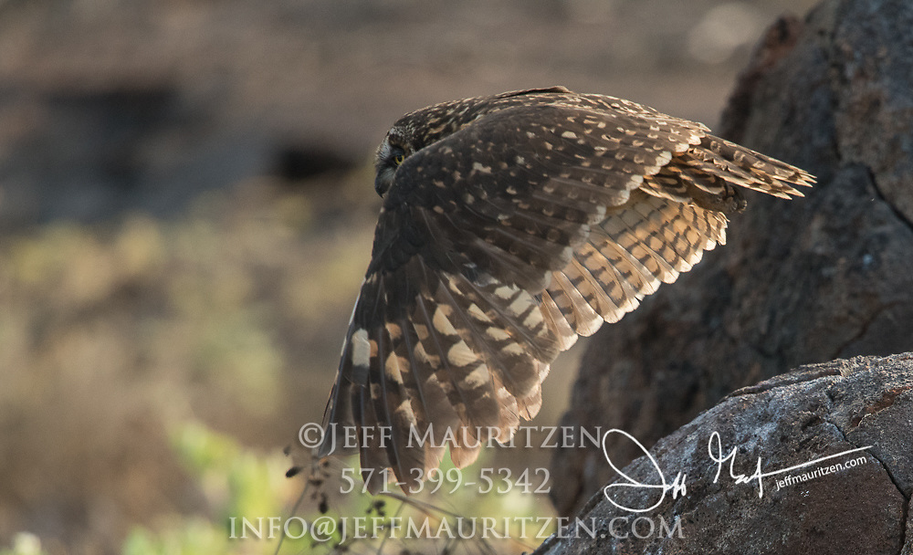 A Galapagos short-eared owl on Genovesa island part of the Galapagos archipelago of Ecuador.
