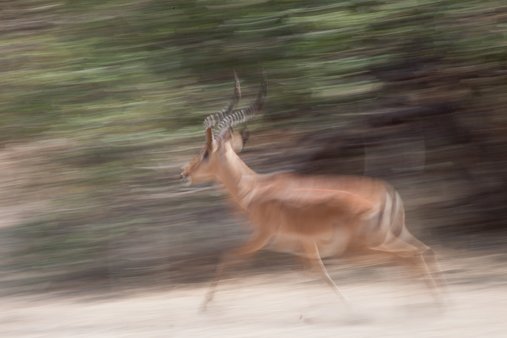 Impala running in Ruaha National Park, Tanzania