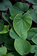 Ava plant for making kava, Tropical Gardens of Maui, Iao Valley, Maui, Hawaii