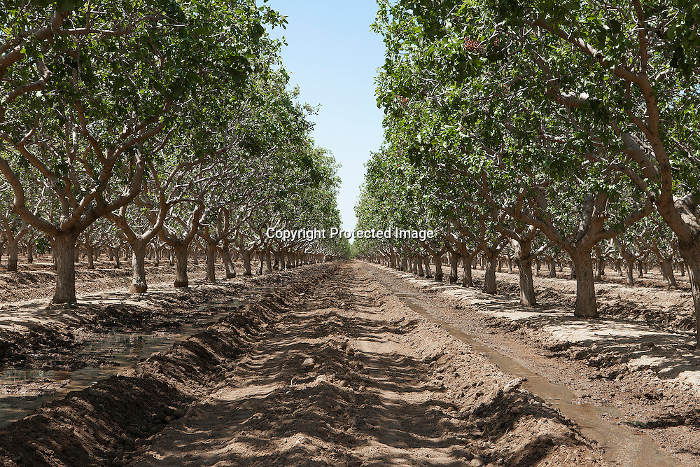 Pistachio orchard receiving water in the drought stricken Central Valley, California