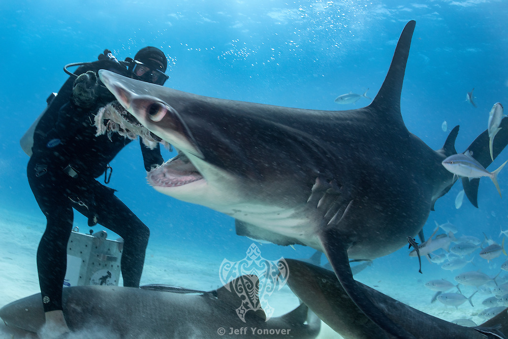 Mike Black hand feeding a Great Hammerhead Shark<br /> <br /> Shot in Bimini, Bahamas