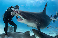 Mike Black hand feeding a Great Hammerhead Shark<br /> <br /> Shot in Bimini, Bahamas