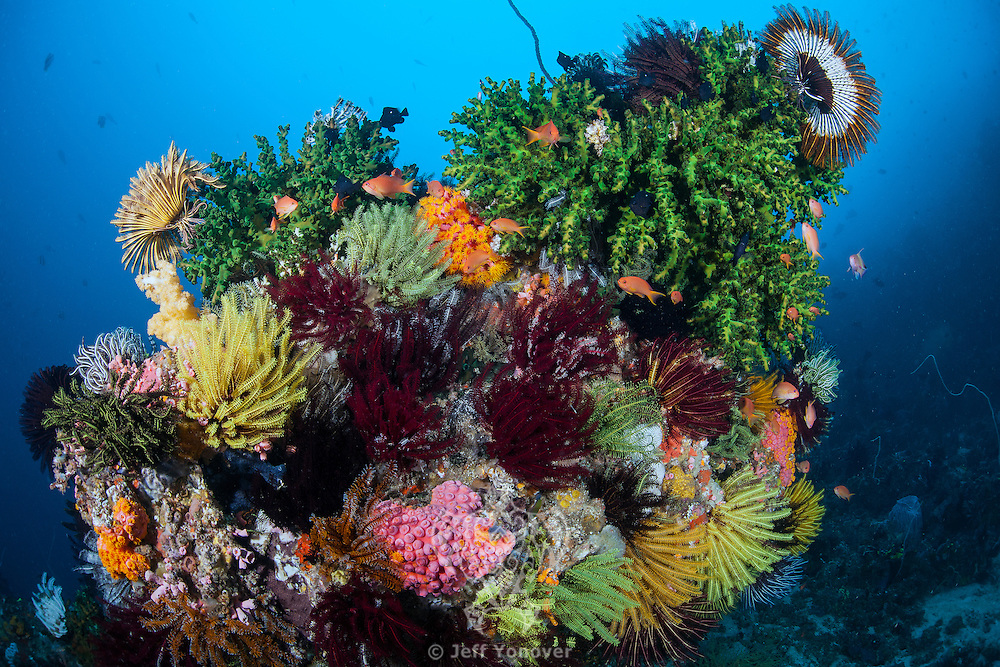 An intensely colorful section of reef, with hard and soft corals, crinoids, and anthias<br /> <br /> Shot in Indonesia