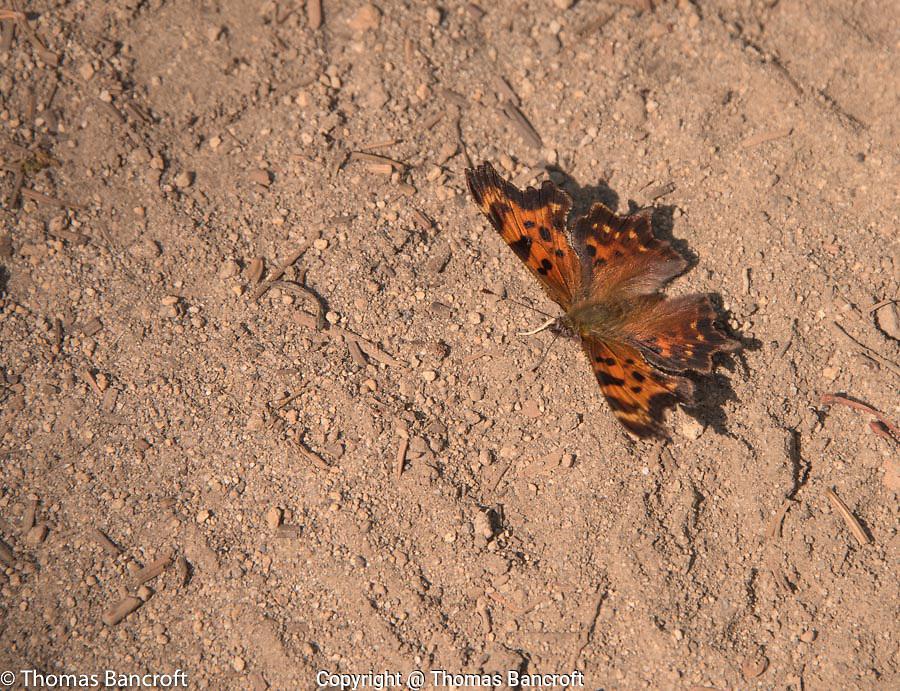 A green comma butterfly suns itself along the Killen Creek Trail in Mt Adams Wilderness.