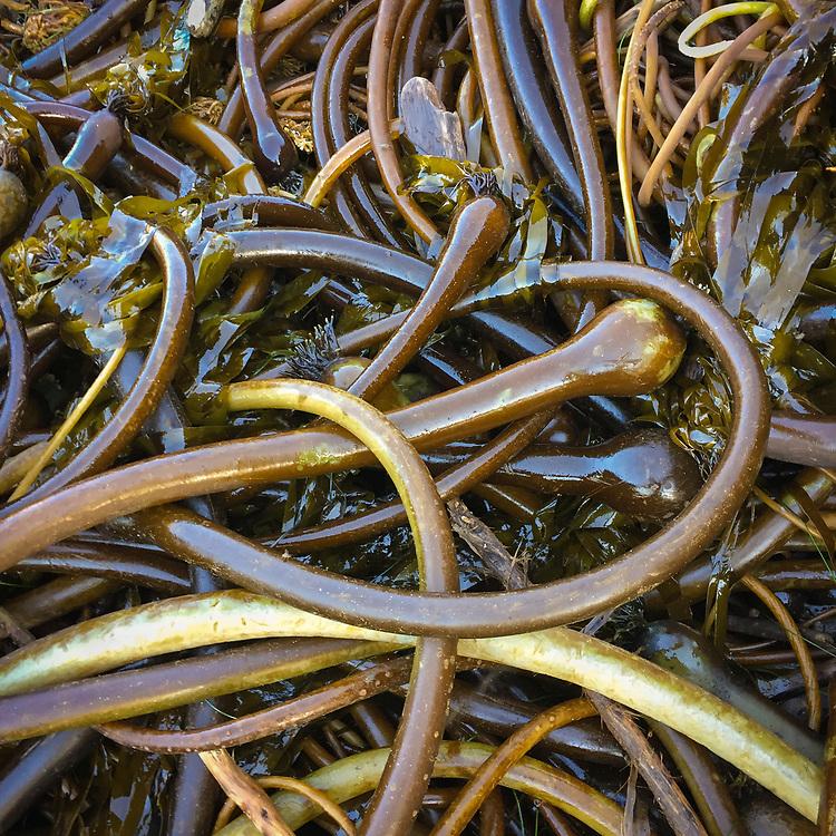 Kelp, Harris Beach State Park, Southern Oregon Coast.
